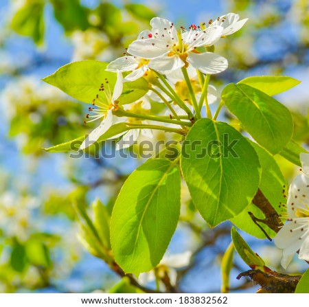 Spring pear flowers blossom. - stock photo