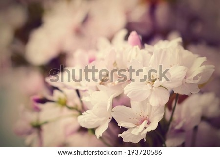Spring photo or background with pink blossom