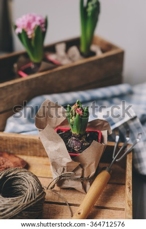 spring preparations at home. Planting hyacinth flowers bulbs. Gardening hobby, cozy mood.  - stock photo