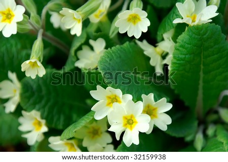Spring Primrose Horizontal - stock photo