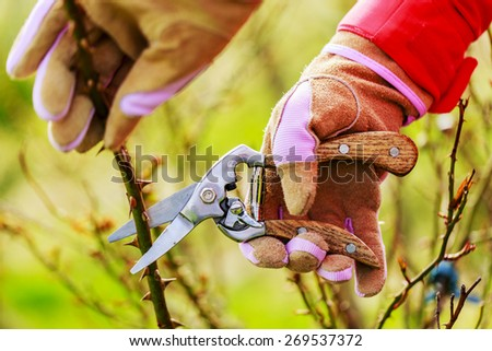 Spring pruning roses in the garden - stock photo