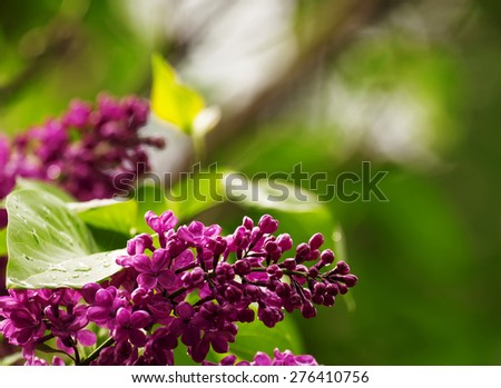 Spring purple flowers of lilac, floral background, selective focus - stock photo