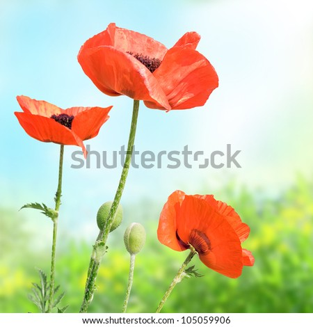 Spring red flowers in the meadow - stock photo
