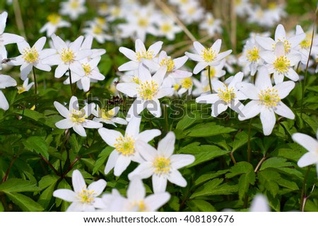 Spring Scene -  Wood Anemone Forest Bed - stock photo