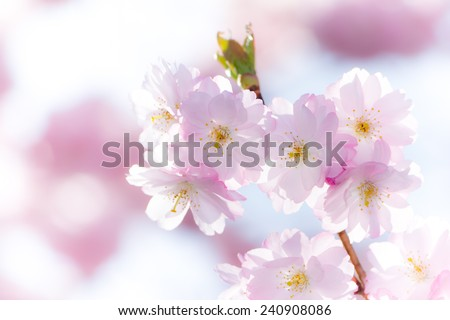 Spring scenic - closeup of a twig with pink cherry blossoms