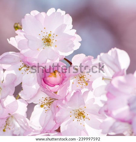 Spring scenic - twig with pink cherry blossoms - stock photo