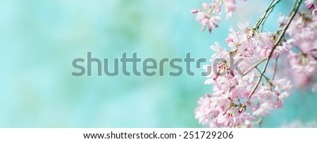 Spring shidarezakura (weeping cherry) cherry blossom with early spring green soft pastel green background. Title header dimension image. Intentionally shot with shallow depth of field. - stock photo