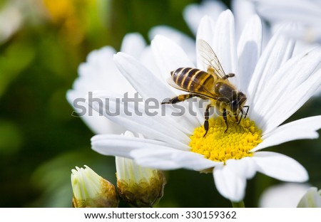 Spring single daisy flower and bee - stock photo