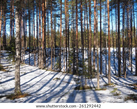 Spring snow in the pine forest - stock photo