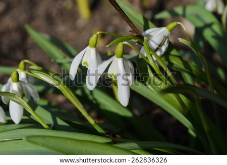 Spring snowdrop flowers blooming  - stock photo