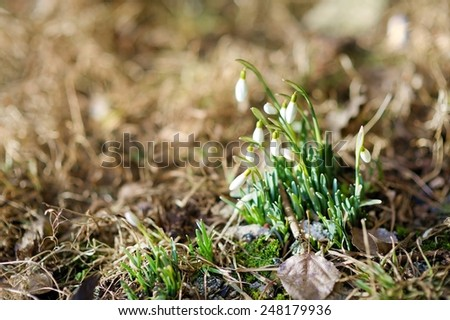 Spring snowdrop flowers blossoming outdoors - stock photo