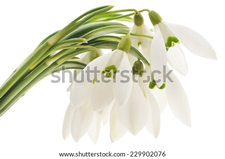 Spring snowdrop flowers bouquet isolated on white - stock photo
