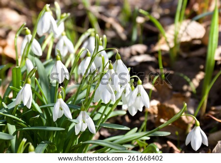 Spring snowdrop flowers in the forest - stock photo