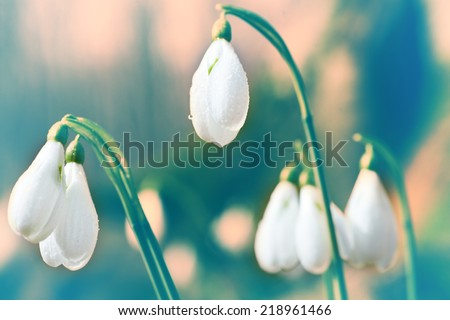 Spring snowdrop flowers with snow in the forest - stock photo