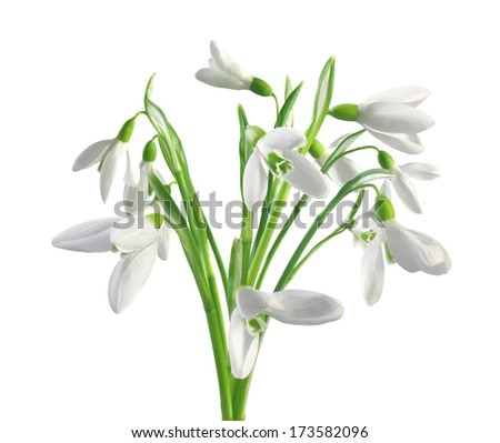 Spring snowdrops isolated on white background - stock photo