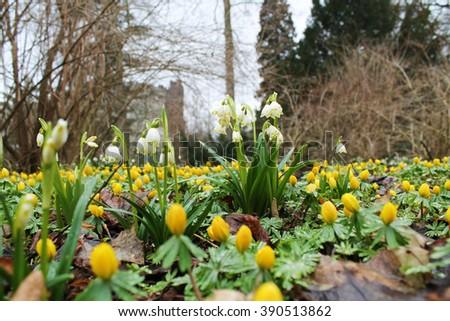 spring snowflake and Eranthis hyemalis  flowers - stock photo