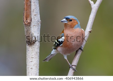Spring songbird chaffinch sitting on a branch - stock photo
