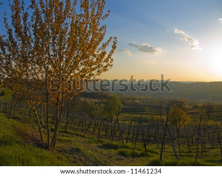 spring sunset in the vineyard - stock photo
