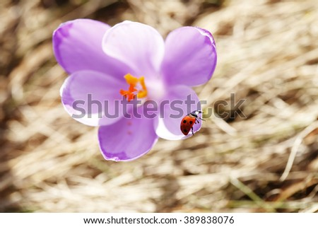 Spring, the first flowers, colorful crocuses blooming, beautiful nature background, close-up, blurred background - stock photo