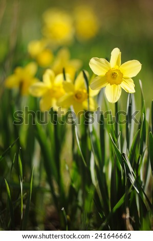 Spring time daffodils in full bloom in the garden - stock photo