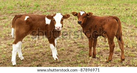 spring time new brown calfs in pasture australian born beef cattle - stock photo