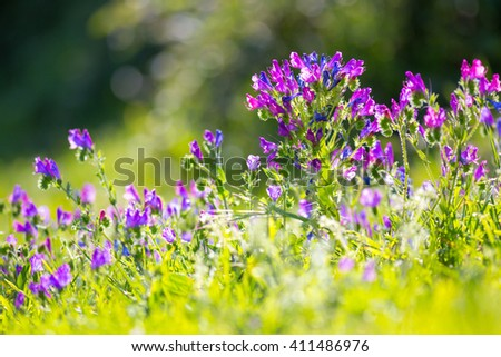 Spring Time, Savage Violet Flowers - stock photo