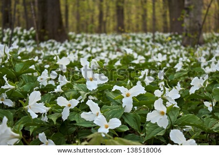 Spring trillium carpets the forest floor. Lakeport State Park. Lakeport, Michigan. - stock photo
