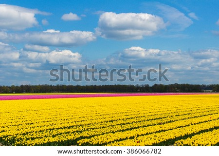 Spring tulip fields in Holland, colorful flowers in Netherlands  - stock photo