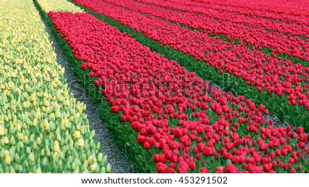 Spring Tulip Fields in Holland. Red and Yellow tulip field. Dutch bulb field of colorful tulips. Beautiful outdoor scenery in Netherlands.