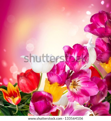 Spring Tulip Flowers over white. Tulips bunch. Floral Border Design - stock photo