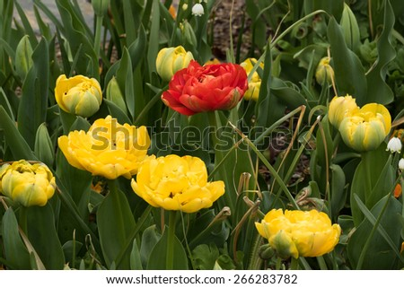 Spring Tulip garden in bloom - stock photo