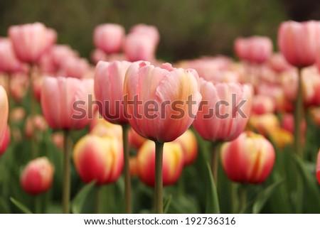 Spring tulips in full bloom at the Tulip Festival in Ottawa, Canada - stock photo