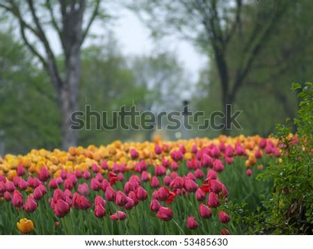 Spring tulips in the rain - stock photo