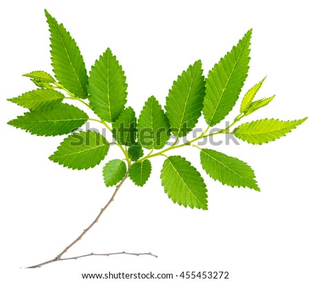 spring twig elm with green leaves isolated on a white background at macro lense shot - stock photo