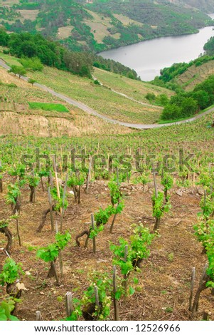 spring vineyard close to a river