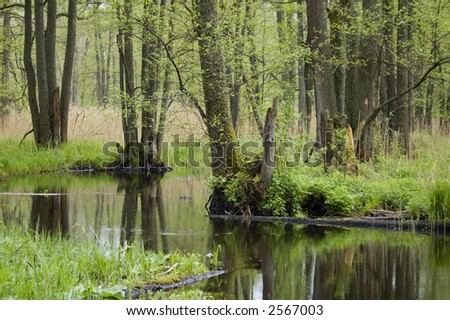 Spring wetland, small forest river, middle europe,poland,bialowieza forest
