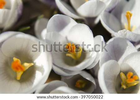 Spring white crocuses (image with shallow depth of field) - stock photo