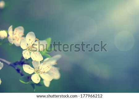 Spring white flowers for background. Empty room for text - stock photo
