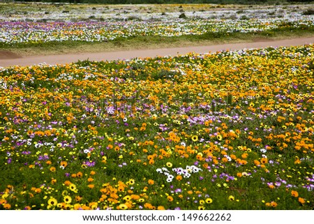 Spring Wild Flowers, West Coast, South Africa - stock photo