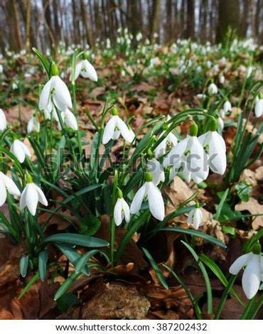 Spring wild snowdrop flowers blooming in the forest near Dobrin, Czech Republic - stock photo