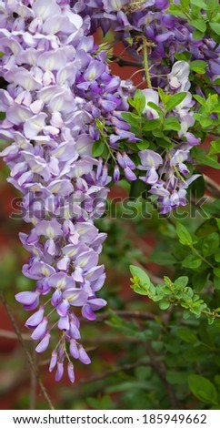 Spring Wisteria vine in bloom - stock photo