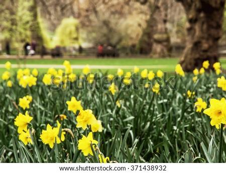 Spring yellow daffodils in the Saint James's park, London, Great Britain. Seasonal natural scene. - stock photo