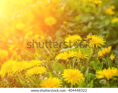 Spring yellow flowers dandelion with a bee at the meadow, illuminated by sunlight, close-up - nature background - stock photo