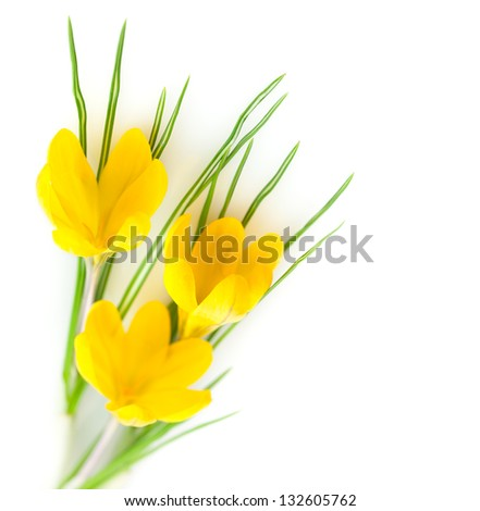 Spring Yellow Flowers isolated on white background with copy space / Crocus - stock photo