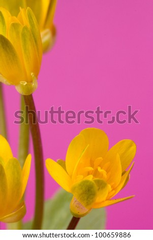 Spring yellow flowers on a pink  background