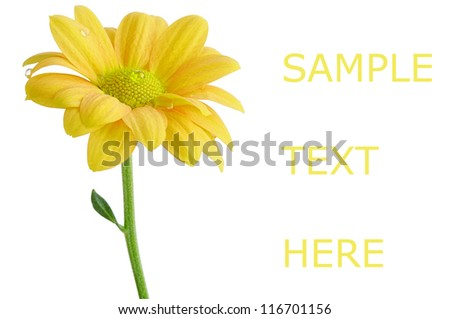 Spring yellow pure flower on white isolated background with copy space - stock photo