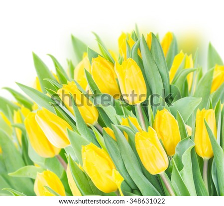 spring yellow tulips  border on white background