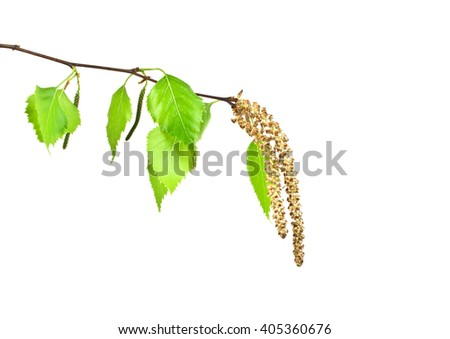 Spring, young birch branch on a white background - stock photo