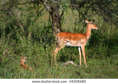 springbocks at serengeti national park in tanzania, africa - stock photo