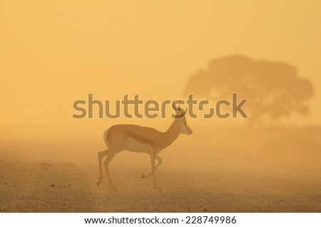 Springbok - African Wildlife Background - Golden Sunset Silhouette and Tree of Life - stock photo